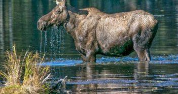 На Київщині браконьєри застрелили вагітну лосицю