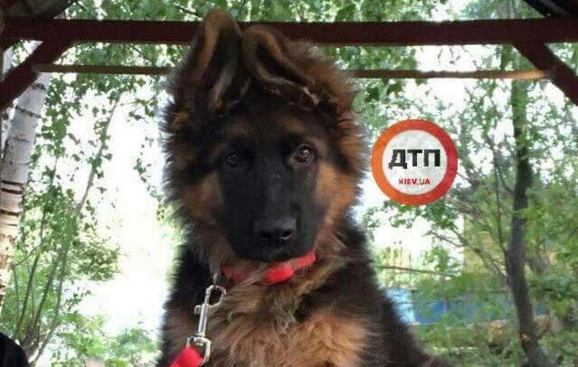 Викрадене щеня по кличці Бантик. Фото: dtp.kiev.ua