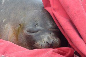 У човні українських полярників заснуло морське слоненя (фото)