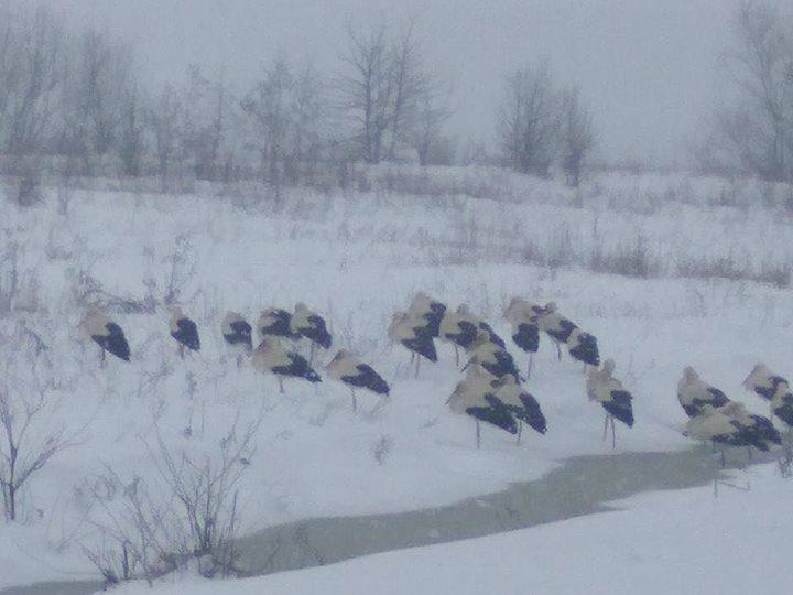 Лелеки вже повернулися в Україну та замерзли. Фото
