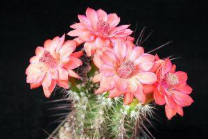 Киянам покажуть квітучі кактуси і сукуленти