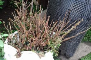 Пенсіонерка знищила квіткову клумбу на Виноградарі (фото)