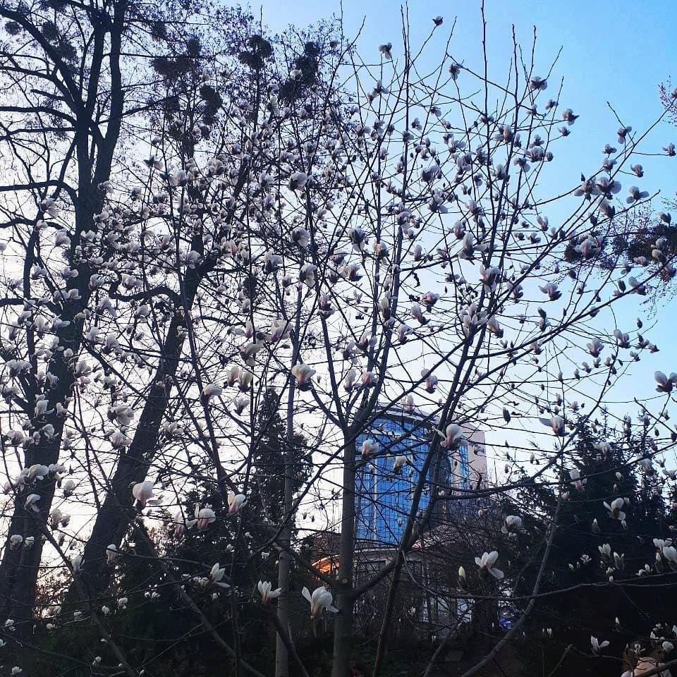У Києві почали цвісти магнолії