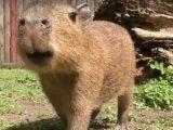 У Київському зоопарку оселився малюк-капібара