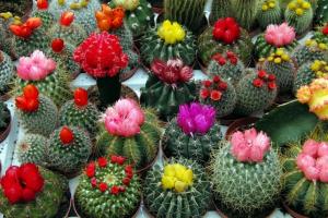 Мешканців столиці запрошують на виставку кактусів