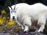 Генетиків не зупинити: Вчені схрестили павука і козу