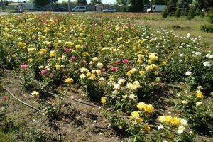 У Києві висадили 900 кущів нових сортів троянд (фото)