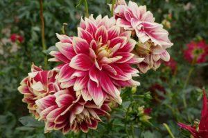 У Ботсаду імені Гришка запрошують подивитися на квіти осені (фото)