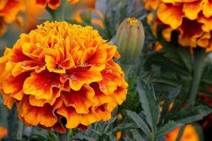 Квіти чорнобривців здатні замінити дорогі таблетки, мазі і шампуні
