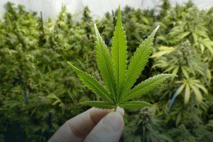 В Україні вперше видали ліцензію на ліки з марихуаною