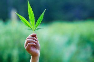 У Верховній Раді зареєстрували законопроект про легалізацію медичного канабісу