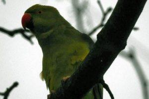 У столиці помітили папугу, що зимує в парку